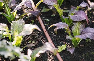 Irrigation pipe being run through a row of seedlings